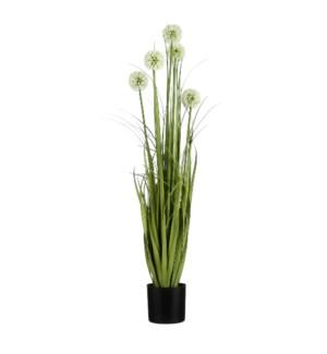 """Allium in plastic pot white - 5x35.5"""""""