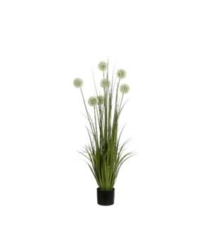 """Allium in plastic pot white - 6x48"""""""