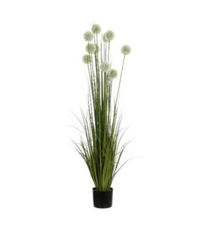 """Allium in plastic pot white - 6.75x60"""""""