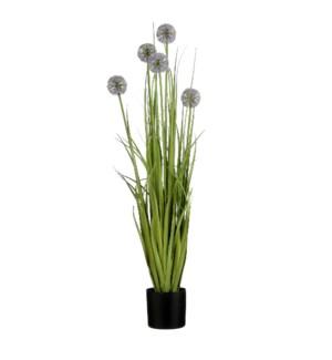 """Allium in plastic pot purple - 5x35.5"""""""