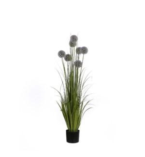 """Allium in plastic pot purple - 6x48"""""""