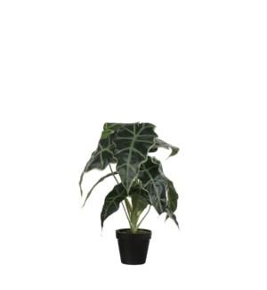 """Alocasia in plastic pot green - 11.75x19.75"""""""