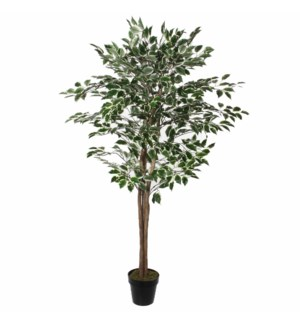"""Ficus in pot green variegated - 25.5x65"""""""