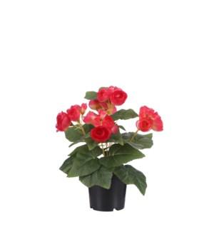 "Begonia in plastic pot d. pink - 8x10.25"""