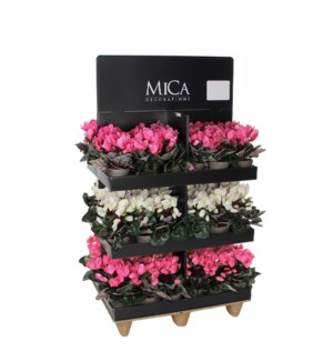 Cyclamen in pot 2 assorted pdq 72 pieces - l80xw60xh120cm