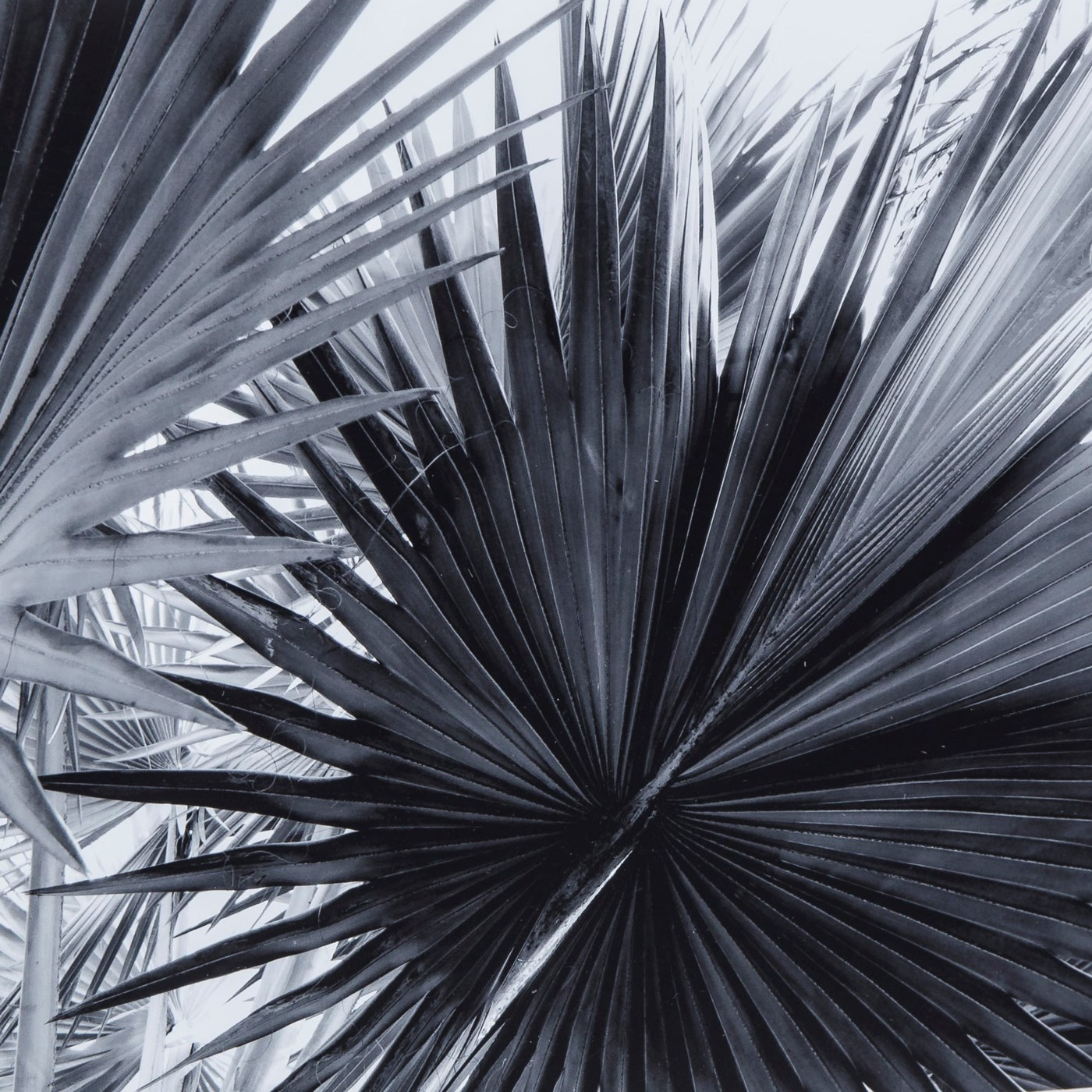 Black white palm leaves b