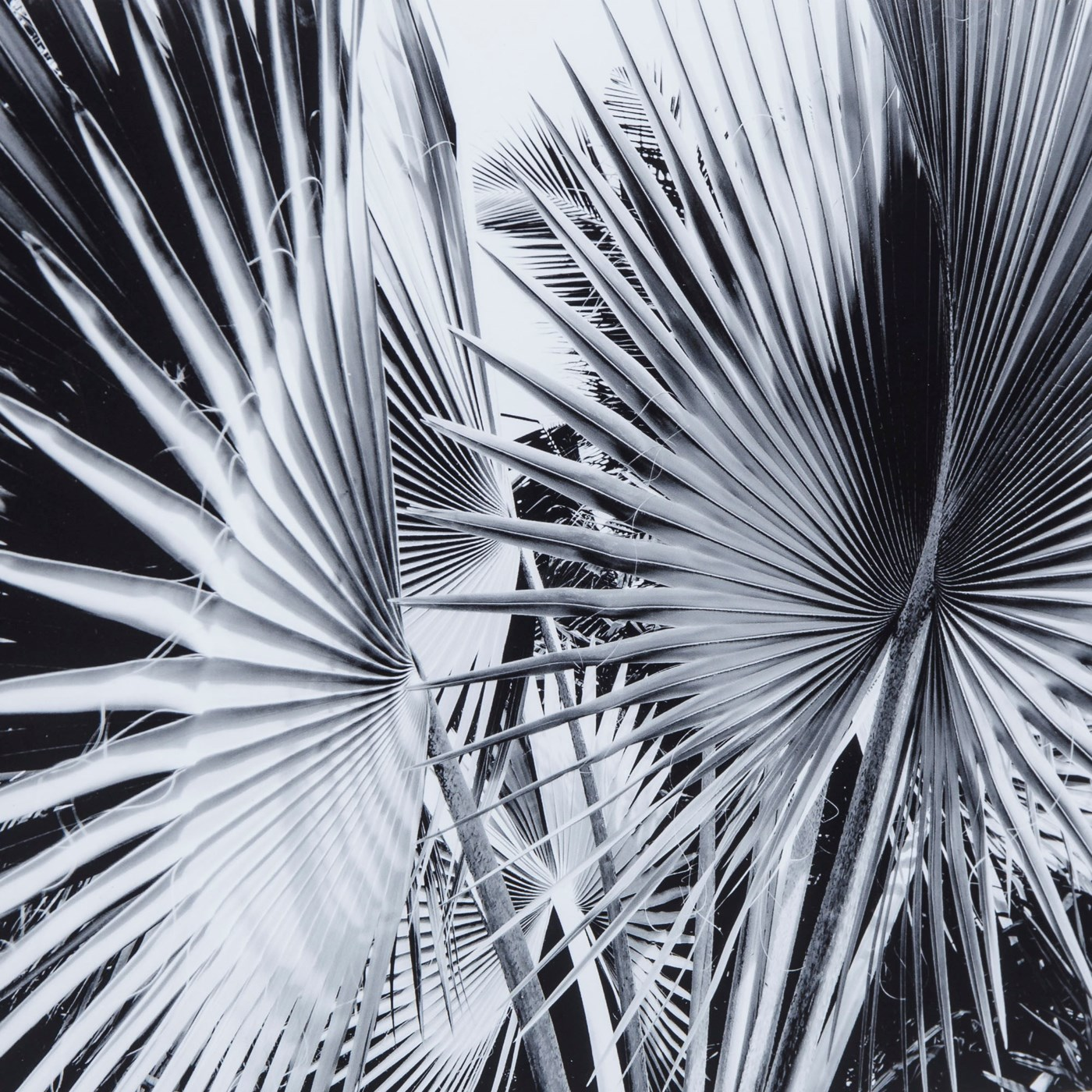 Black & White Palm Leaves - C