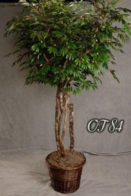 7 FT. OLIVE TREE
