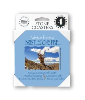 Advice from a Bristlecone Pine  coaster