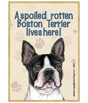 A spoiled rotten Boston Terrier lives he