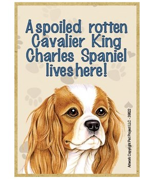A spoiled rotten Cavalier King Charles S