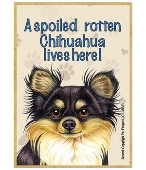 A spoiled rotten Chihuahua (Long haired,