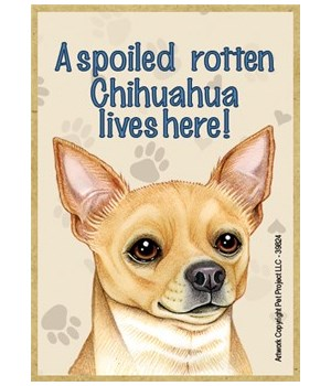 A spoiled rotten Chihuahua (Tan) lives h