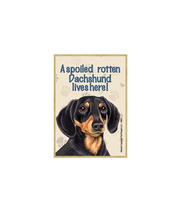 A spoiled rotten Dachshund (Black and Ta
