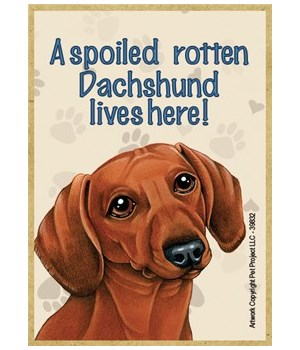 A spoiled rotten Dachshund (Brown) lives