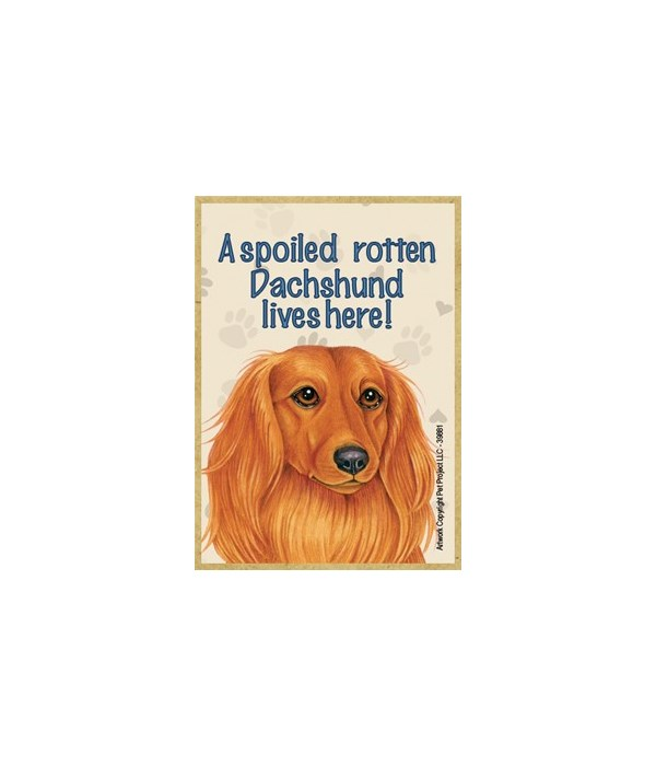 A spoiled rotten Dachshund (Long hair) l