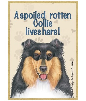 A spoiled rotten Collie (tri-colored) li