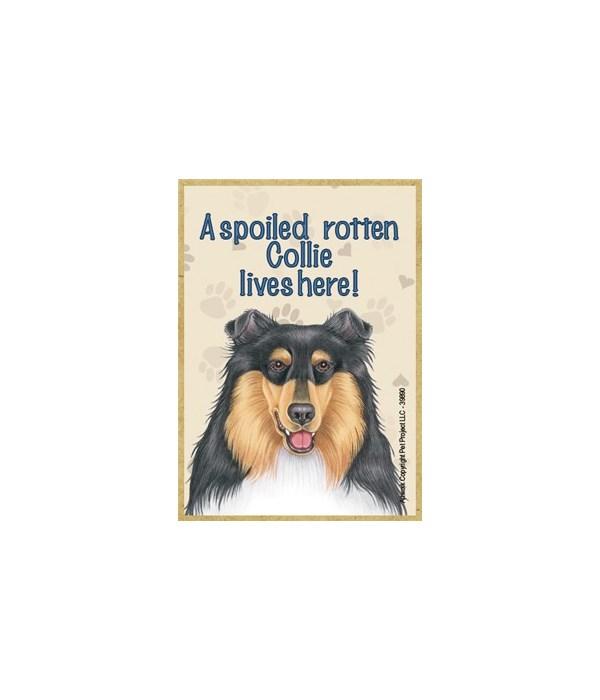 A spoiled rotten Collie (tri-colored) li