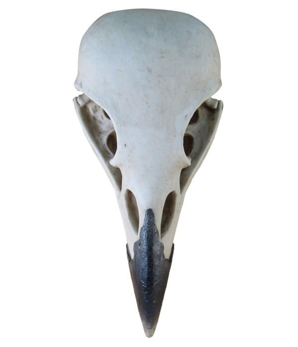 "15.75"" Corvus (Raven Skull) 1PC"