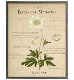 Anemone on botanical background