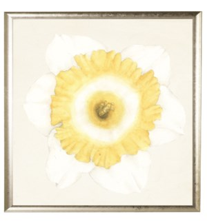 Watercolor daffodil white with yellow and white center