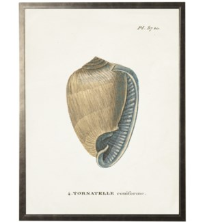 Plate 37 Seashell on natural background