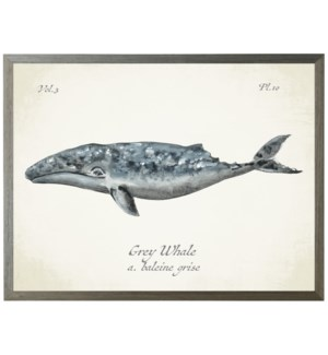 Grey Whale on natural background