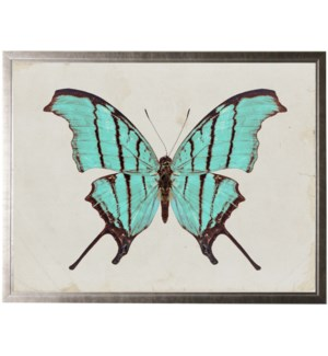 Turquoise butterfly with dark brown edges