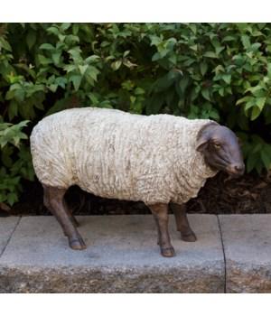 Sheep - Grazing
