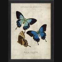 EB Papilio telegouus