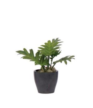 """Split Leaf in Black Pot, 9"""""""