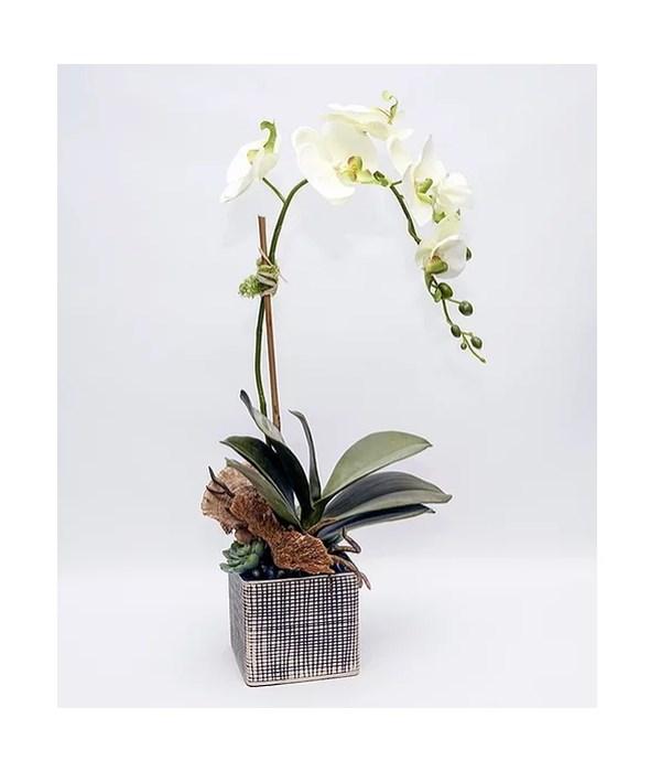 Green Orchid in Black, Cream Square Pot