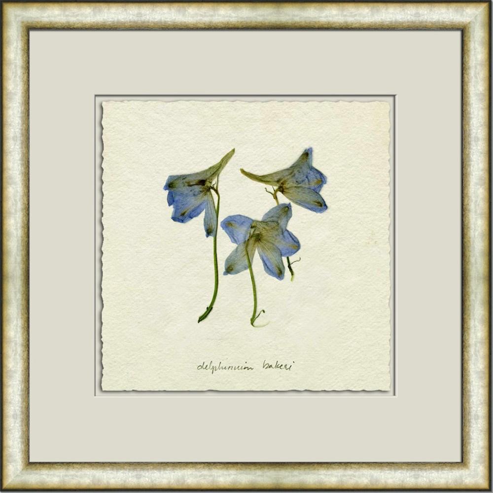 PRESSED BLUE DELPHINIUM I