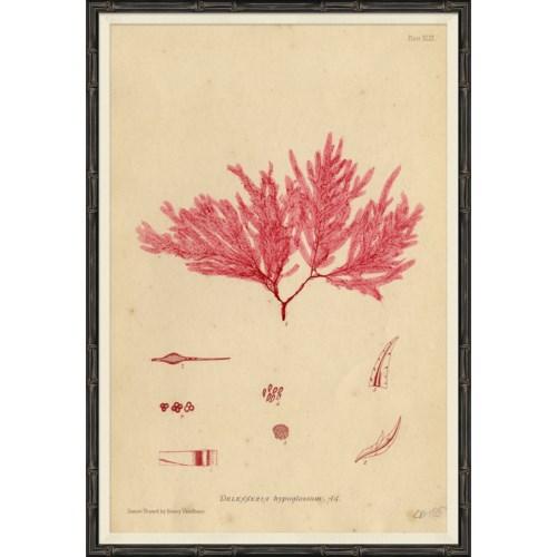 Seaweed in Pink