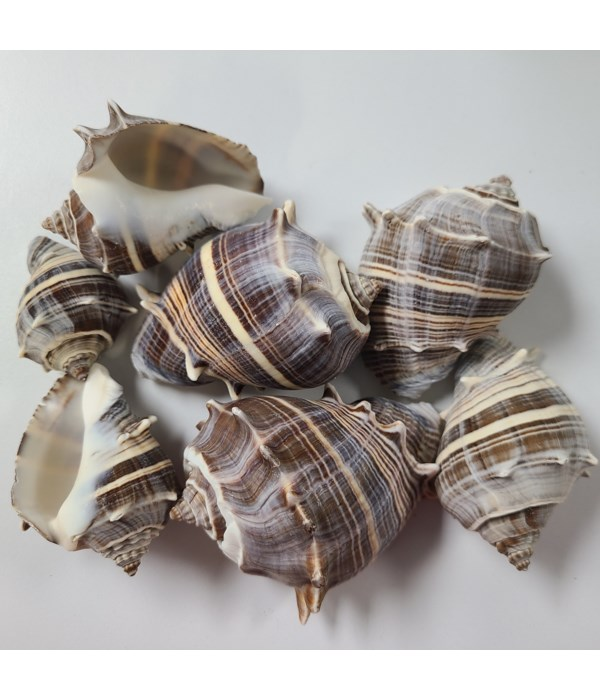 PACIFIC CROWN CONCH