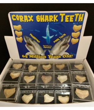 60PC CORAX TOOTH