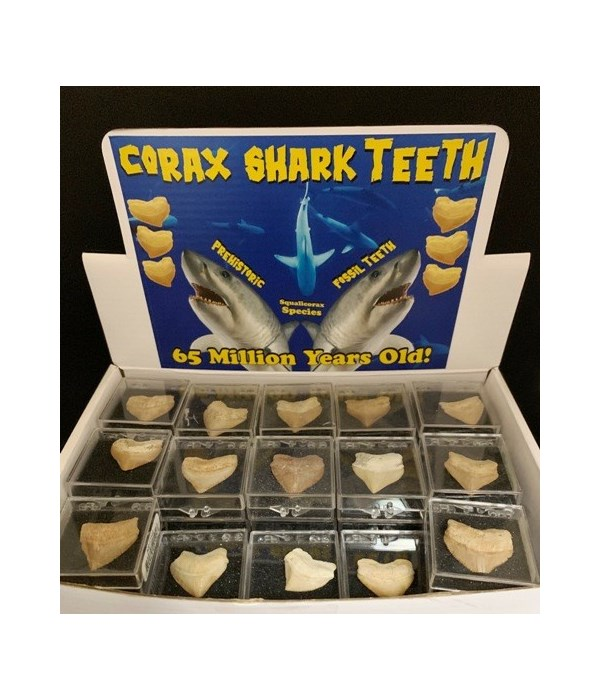 60 PC CORAX TOOTH