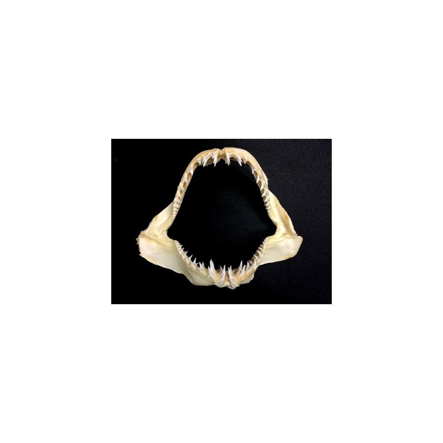 """SHARK JAW 25"""" LRG TEETH"""