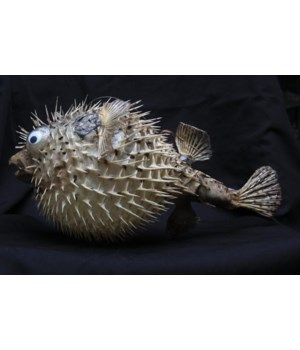 PORCUPINE BLOWFISH 15""
