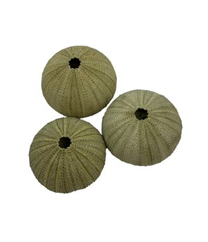 GREEN SEA URCHIN 2 1/2""