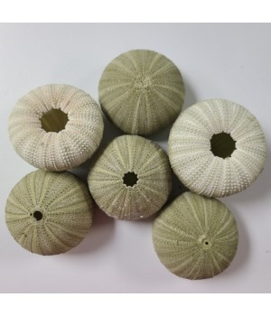 GREEN SEA URCHIN LARGE