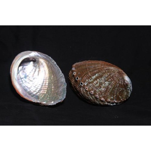 """GREEN ABALONE (MEXICO) 5-6"""""""