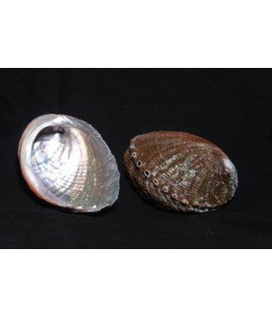 """GREEN ABALONE (MEXICO) 6-7"""""""