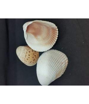 FLORIDA COCKLE UP TO 4""