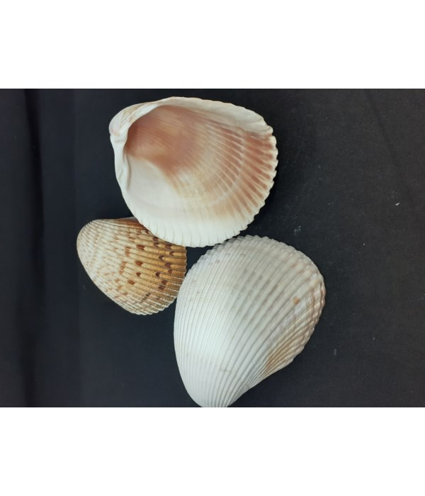 """FLORIDA COCKLE up to 4"""""""