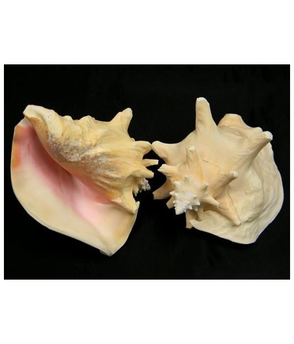 """8-9"""" PINK CONCH"""