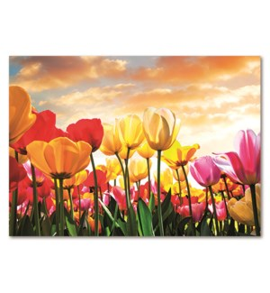 SY/Tulips