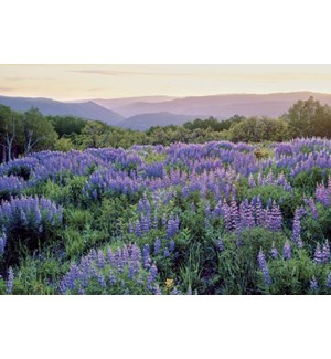 BL/Field of Mountain Lupine