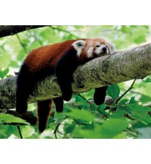 EN/Red Panda Lounging On Tree