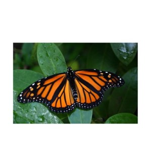 BL/Monarch Butterfly